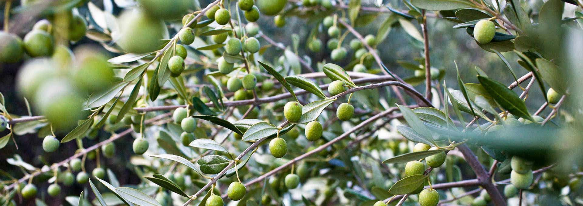 The Coratina Olive