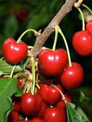 The Vignola Cherry (top page)