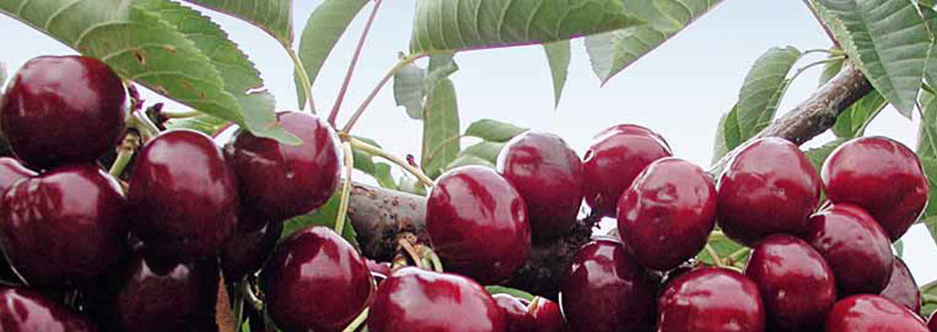 The Wild Cherry Wine of Marche, Visciolata