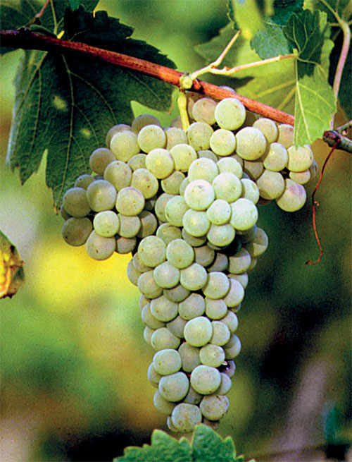 Verdicchio is obtained from the eponymous indigenous white grapes, which retain their distinctive green shades upon ripening.