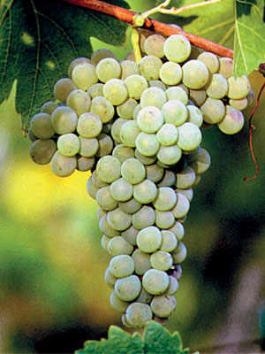 The World-Renowned Verdicchio Wine