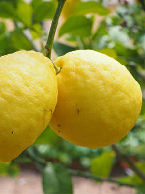 The Lemons of Lake Garda