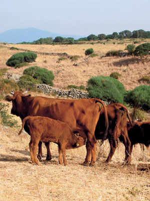 Red Ox of Montiferru