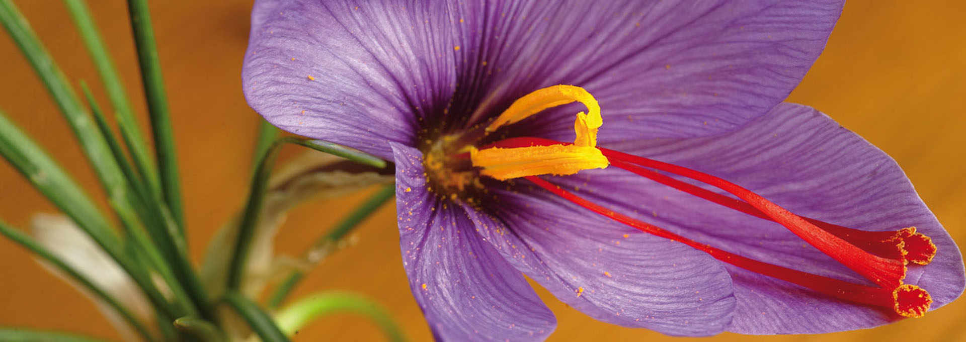 Italian Saffron: Time For A Revival