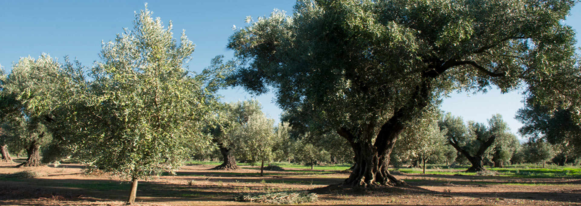The Carolea Variety: The Queen of the Lametia PDO Extra-Virgin Olive Oil